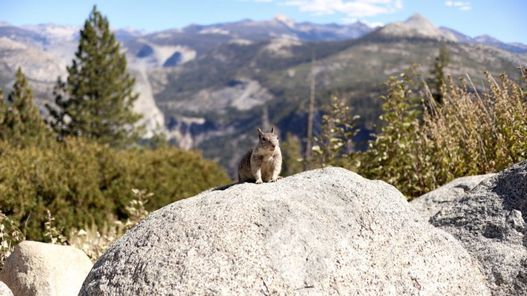 yosemite national park np nationalpark national park service nps tioga pass highway 120 mariposa lee vining squirrel